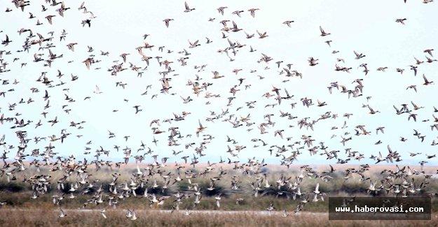 Göçmen kuşların kış durağı Kızılırmak Deltası