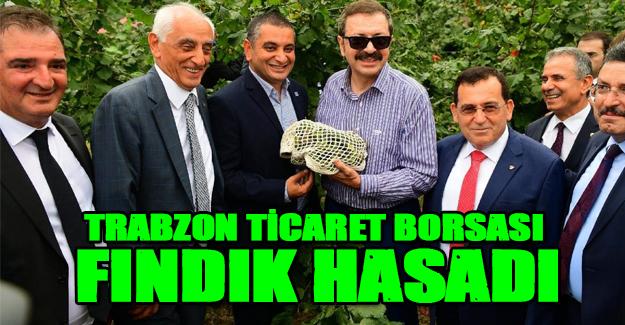 Trabzon'da Fındık Hasadı yapıldı.