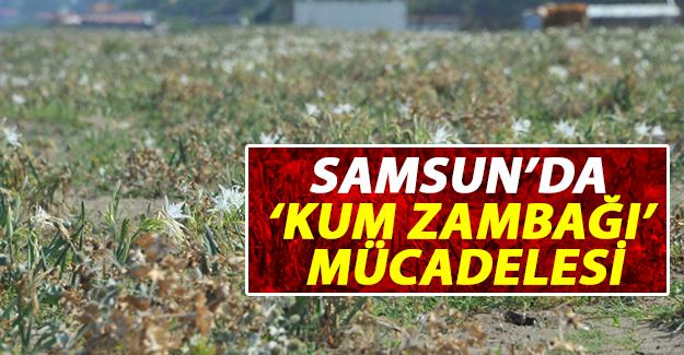 Samsun'da 'Kum Zambağı' Mücadelesi