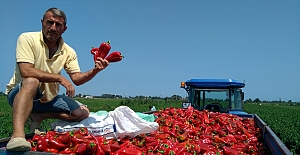 Bafra'da Kırmızı biber hasatı