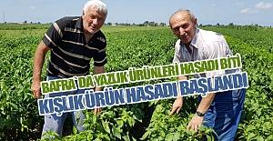 Bafra`da Kışlık hasat Zamanı Başladı
